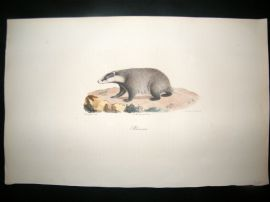Saint Hilaire & Cuvier C1830 Folio Hand Colored Print. European Badger